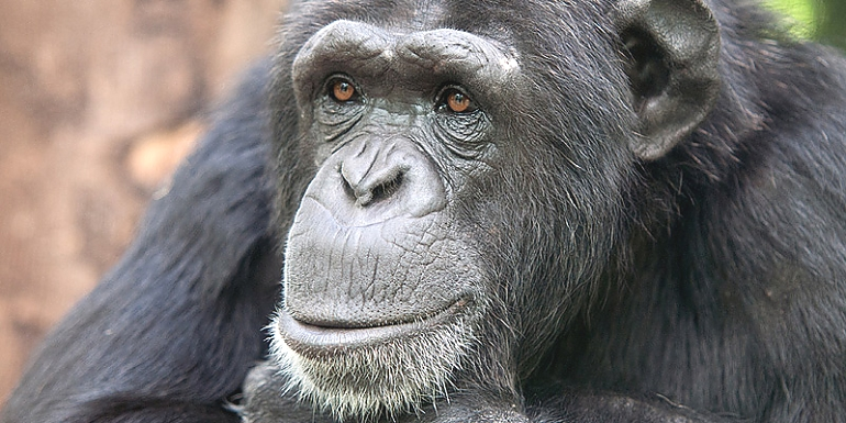 Chimpanzee at Gombe National Park