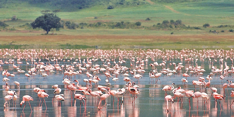 Flamingos in Lake Natron